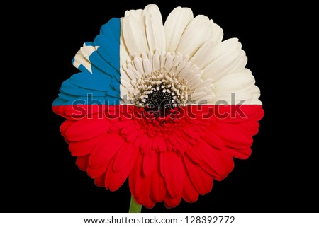 gerbera daisy flower in colors national flag of chile on black background as concept and symbol of love, beauty, innocence, and positive emotions