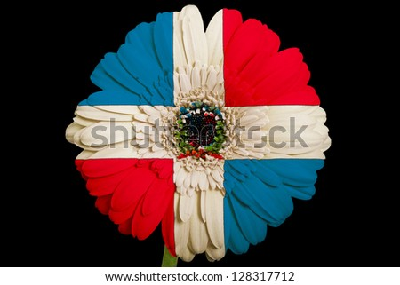 gerbera daisy flower in colors national flag of dominican on black background as concept and symbol of love, beauty, innocence, and positive emotions - stock photo