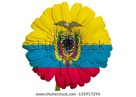 gerbera daisy flower in colors national flag of ecuador on white background as concept and symbol of love, beauty, innocence, and positive emotions - stock photo