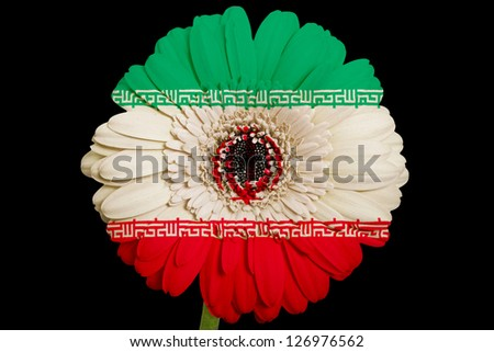 gerbera daisy flower in colors national flag of iran on black background as concept and symbol of love, beauty, innocence, and positive emotions - stock photo