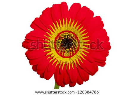 gerbera daisy flower in colors national flag of kirghizstan on white background as concept and symbol of love, beauty, innocence, and positive emotions