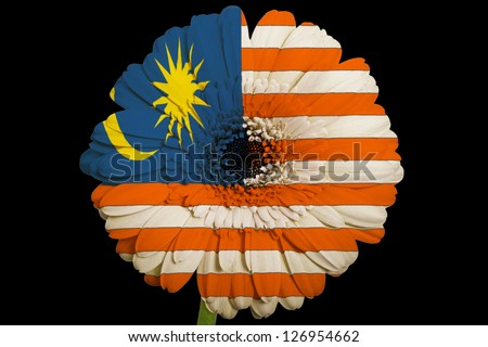 gerbera daisy flower in colors national flag of malaysiaon black background as concept and symbol of love, beauty, innocence, and positive emotions - stock photo