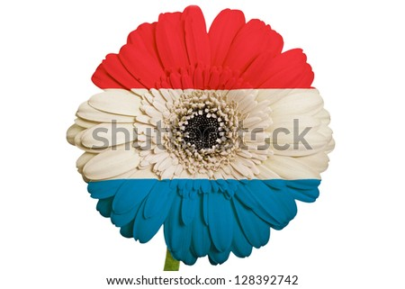 gerbera daisy flower in colors national flag of netherlands on white background as concept and symbol of love, beauty, innocence, and positive emotions - stock photo