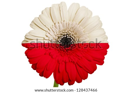gerbera daisy flower in colors national flag of poland on white background as concept and symbol of love, beauty, innocence, and positive emotions - stock photo