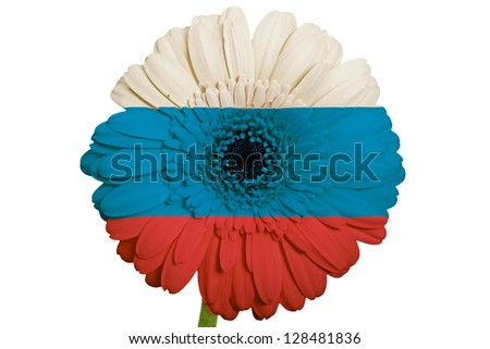 gerbera daisy flower in colors national flag of russia on white background as concept and symbol of love, beauty, innocence, and positive emotions
