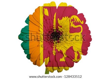 gerbera daisy flower in colors national flag of srilanka on white background as concept and symbol of love, beauty, innocence, and positive emotions - stock photo