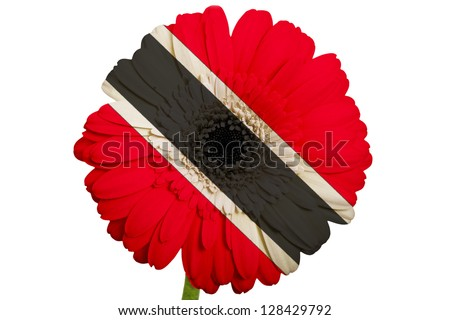 gerbera daisy flower in colors national flag of trinidad tobago on white background as concept and symbol of love, beauty, innocence, and positive emotions - stock photo