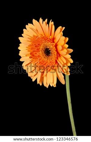 Gerbera Daisy on a black background - stock photo