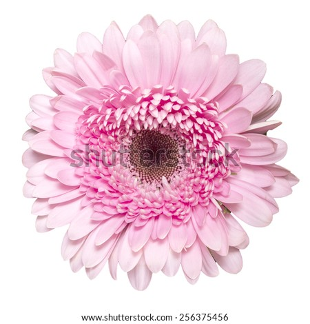 Gerbera. Deep focus. No dust - stock photo