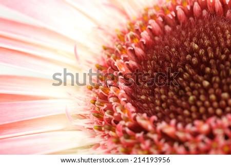 Gerbera flower background - stock photo