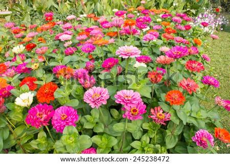 Gerbera flower colorfu fresh air in the morning. - stock photo