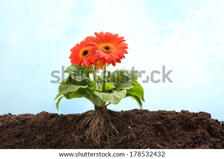 Gerbera flower in earth with visible root - stock photo