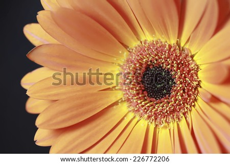 gerbera flower in macro - stock photo