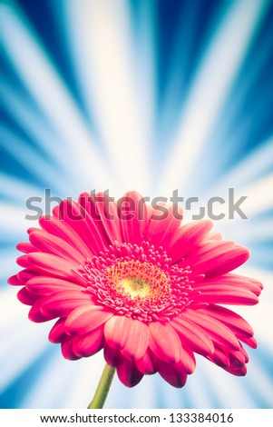 gerbera flower on shiny rays background