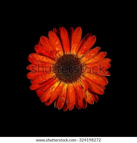 Gerbera flower single on black background. - stock photo