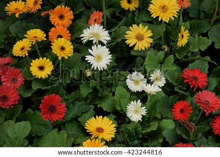 Gerbera flowers in bloom. Colorful springtime nature background. - stock photo