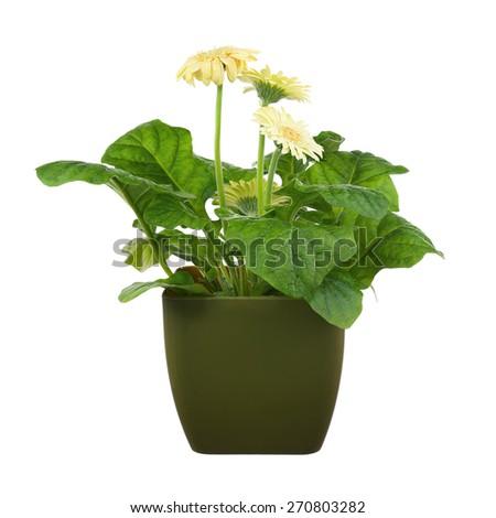 Gerbera flowers in dark green flowerpot isolated on white background. Closeup. - stock photo