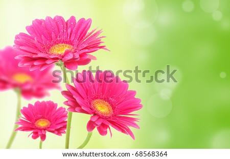 Gerbera flowers on green shiny background - stock photo