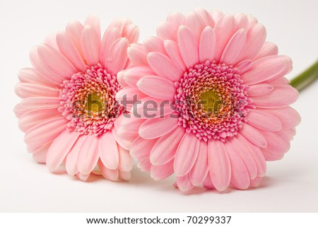 Gerbera flowers. Studio shot of beautiful fresh gerberas on a white background.