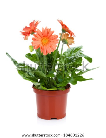 Gerbera in flowerpot. Isolated on white background - stock photo
