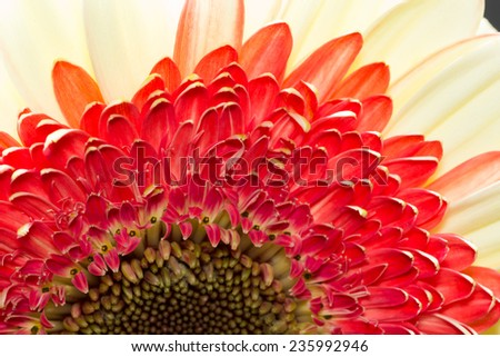 Gerbera jamesonii - beautiful flower with macro details - stock photo