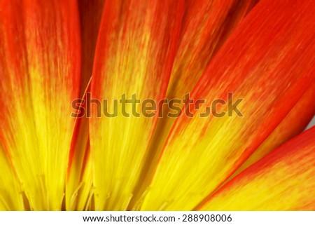 Gerbera petals background - stock photo