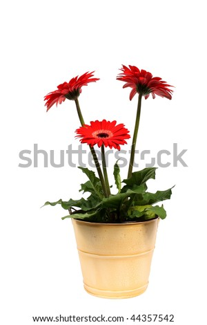 Gerbera plant in pot - stock photo