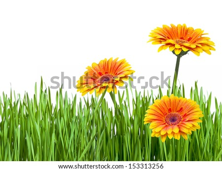 Gerberas and green grass isolated on white - stock photo