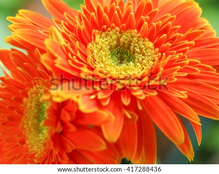 Gerberas.Close up photo