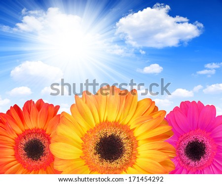 gerberas flowers on sunny sky - stock photo