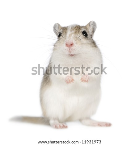 Gerbil in front of a white background - stock photo