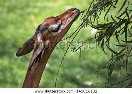 Gerenuk feeding on leaves. The Gerenuk (Litocranius walleri), also known as the Waller's Gazelle, is a long-necked species of antelope found in dry bushy scrub and steppe in East Africa. - stock photo