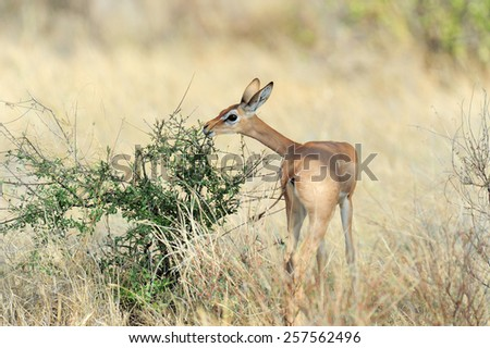 Gerenuk in Samburu National Park in Northern Kenya - stock photo