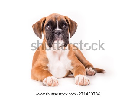 German boxer puppy - stock photo