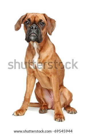 German Boxer puppy (bitch) sitting on a white background