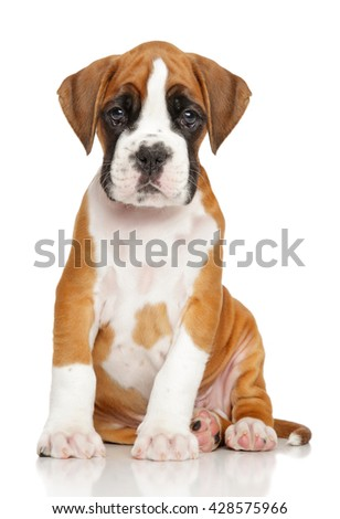 German Boxer puppy in front of white background - stock photo