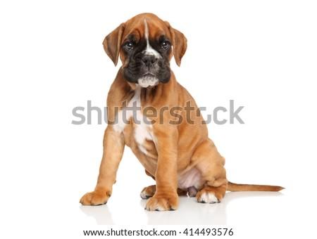 German boxer puppy. Portrait on a white background - stock photo