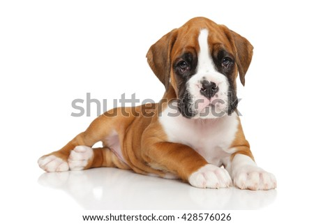 German boxer puppy posing on white background - stock photo