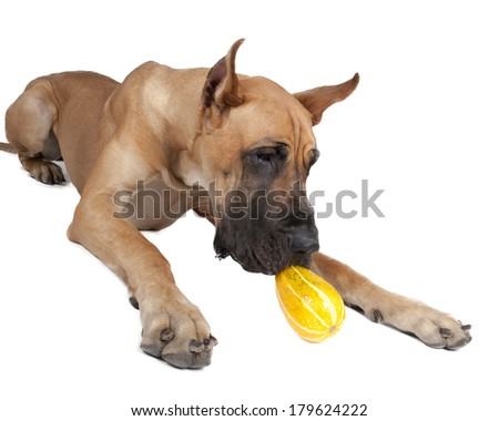 German fawn doggi in studio on a white background with pumpkins  - stock photo