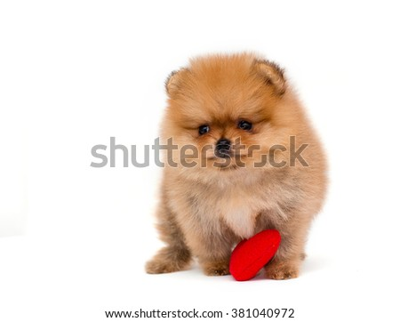 German miniature spitz puppy