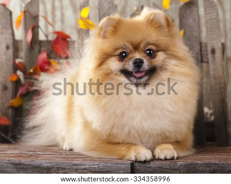 German Pomeranian Spitz dog - stock photo