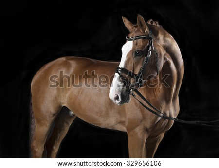 German Riding horse with bridle in studio against black background