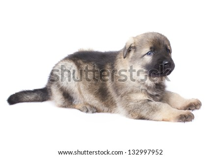 German sheep-dog puppy isolated on white background