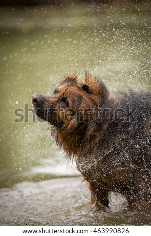 German sheep dog shaking off water