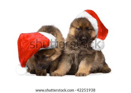 German sheepdogs puppys in red christmas caps isolated on white background
