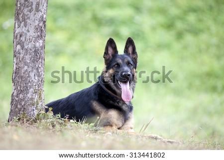 German shepard dog lay outside under tree - stock photo