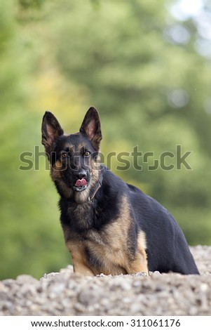 German shepard dog lick his nose - stock photo