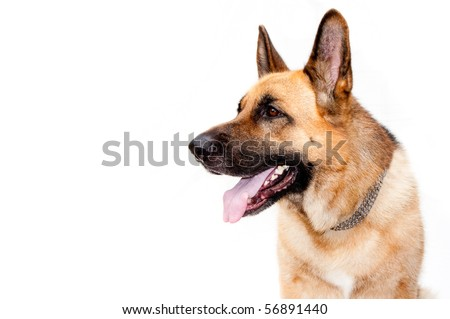 German shepard dog portrait on white background - stock photo