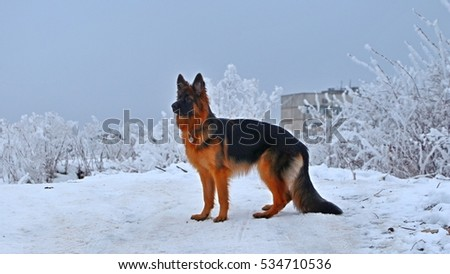 German shepard in winter walk