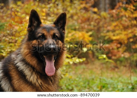 German shepard with autumn leaves in background - stock photo